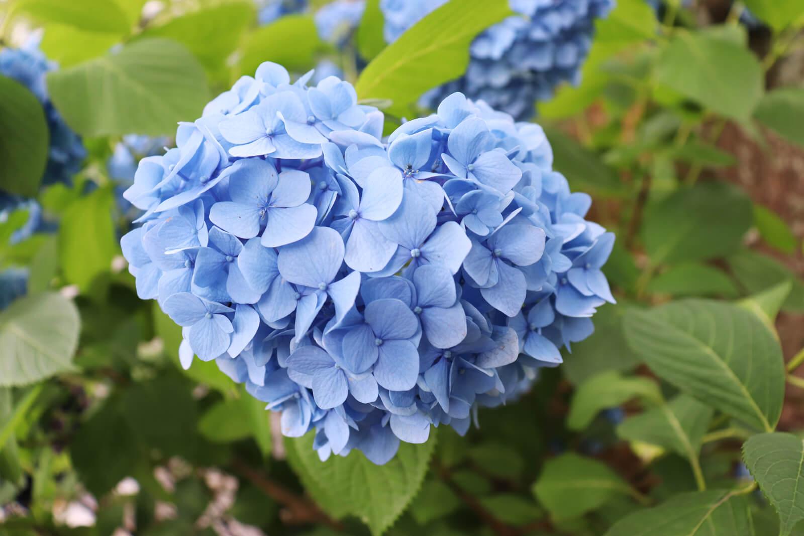 青いハート型のあじさい
