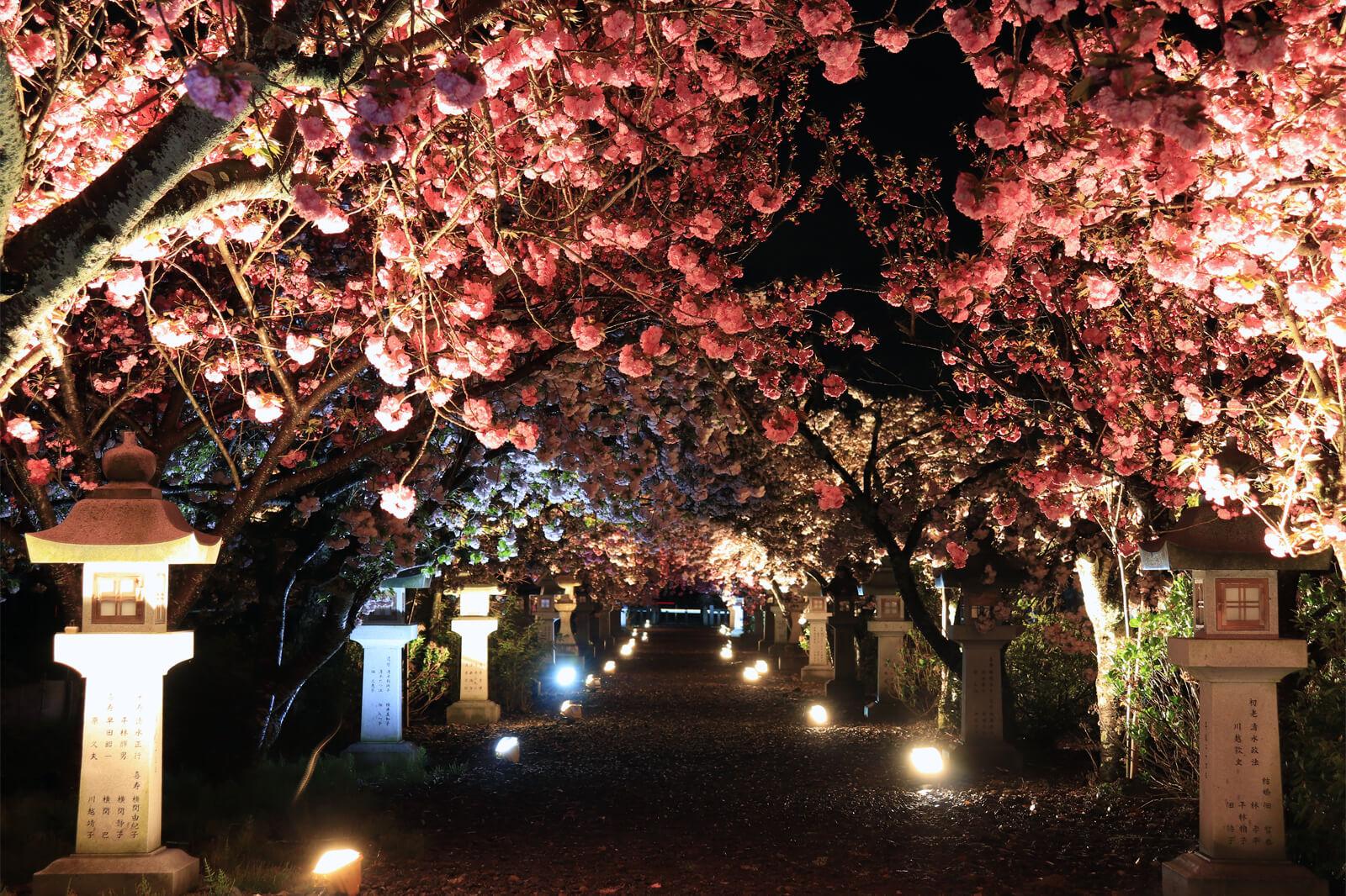 伊香具神社の八重桜(ライトアップ)