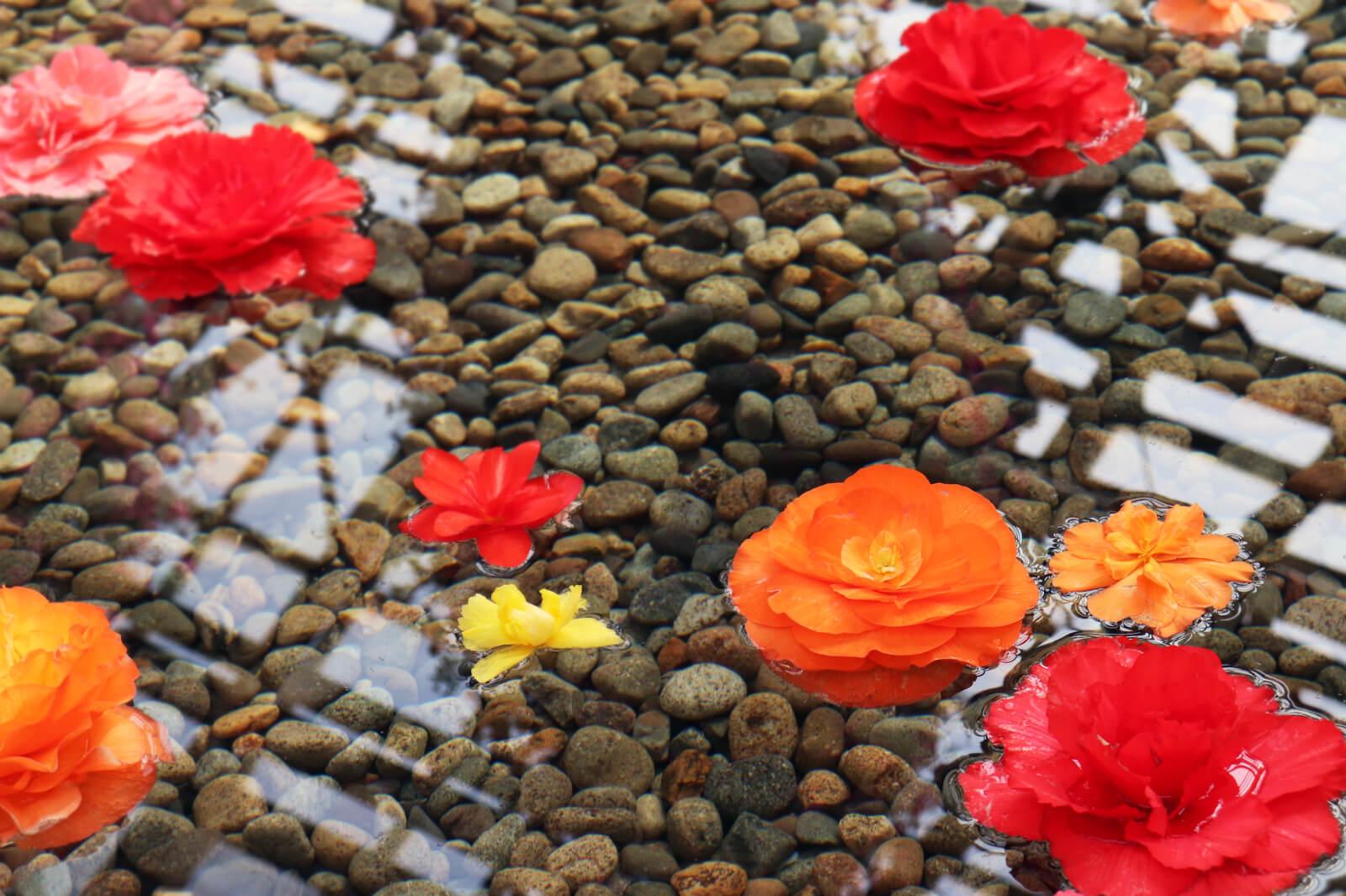 水面に浮かぶベコニアの花