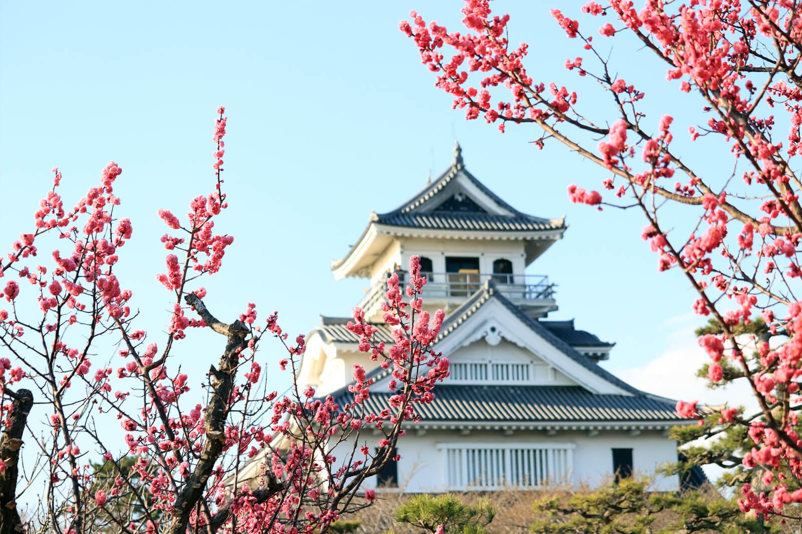 長浜城に咲く梅の花