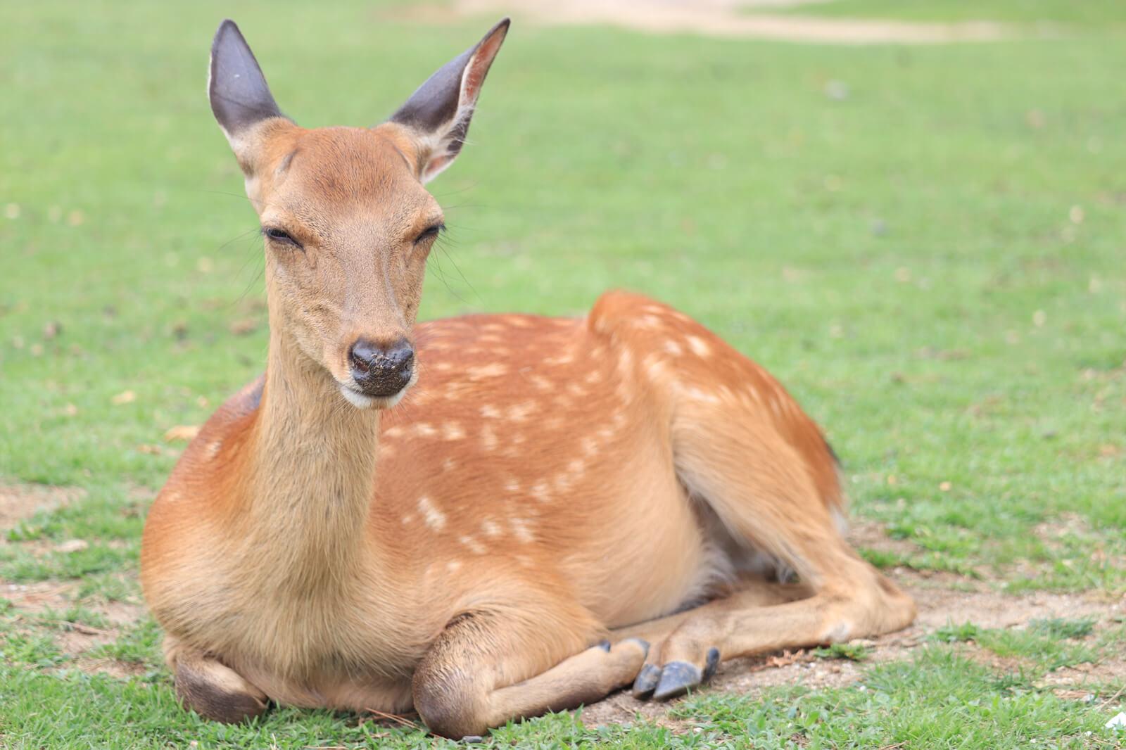 ポカポカ陽気で眠そうな鹿
