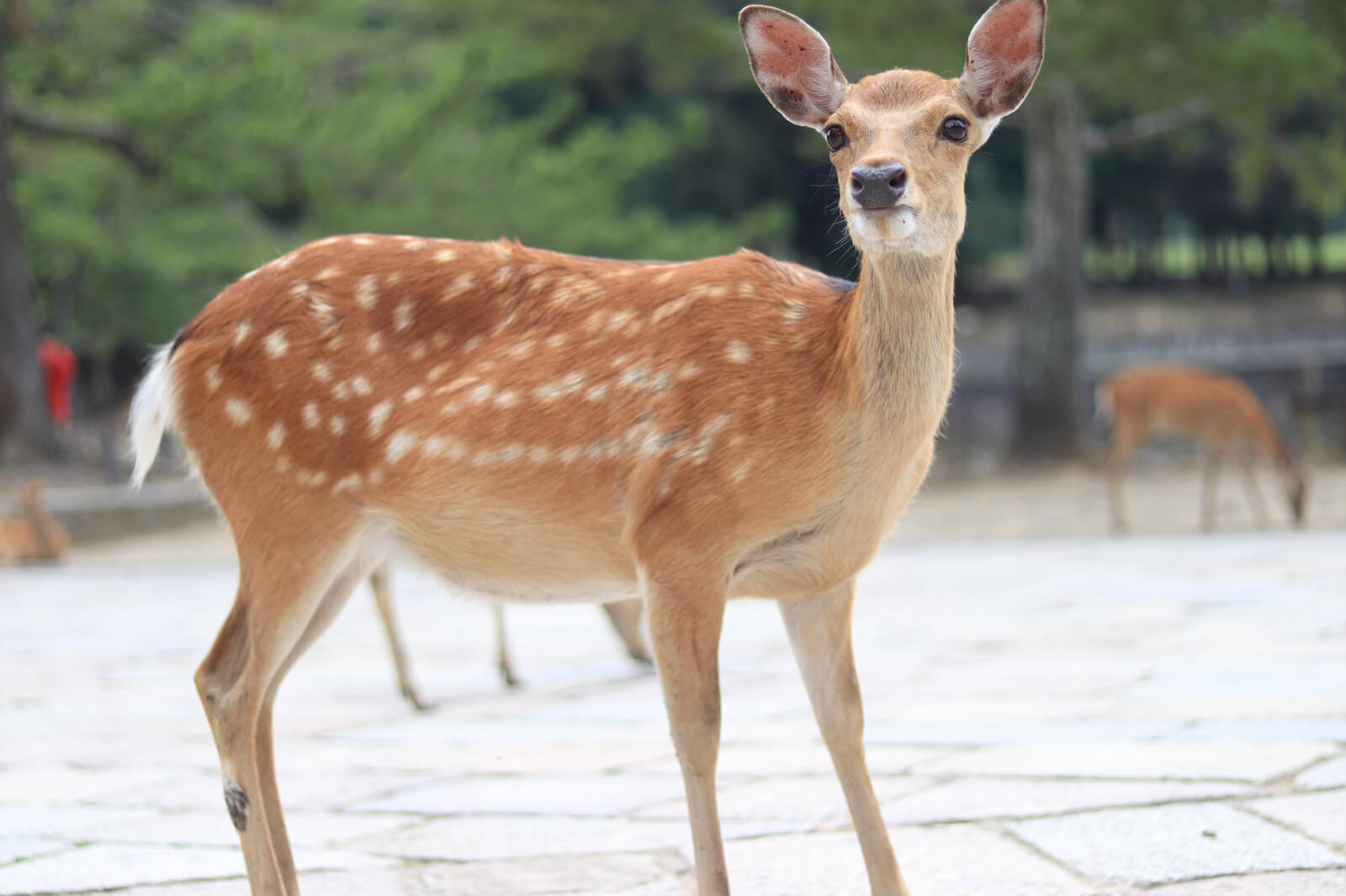 キリッとした奈良公園の鹿