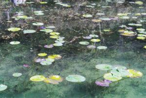 岐阜県関市のモネの池(睡蓮)