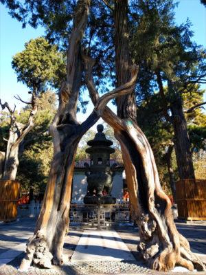 紫禁城の二本の木
