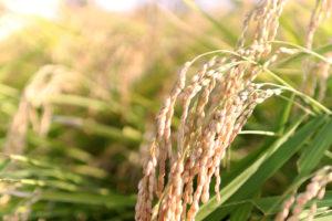 収穫時期の稲(米)
