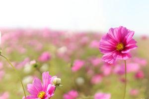 凛と立つピンクのコスモス