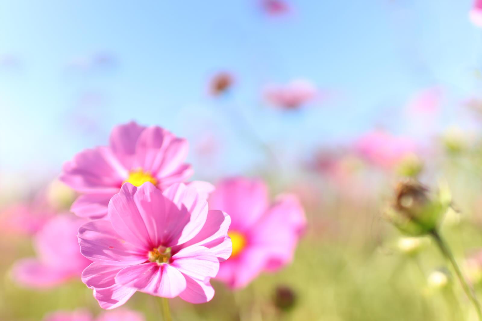 青空に映える薄ピンクのコスモス