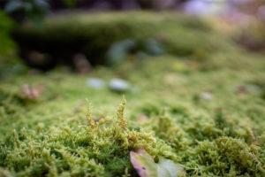 杉苔の上に生えるハイゴケ