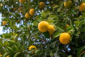 木になるたくさんの柚子