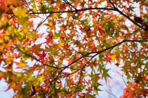 紅葉を真下から眺めると万華鏡のよう