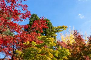 紅葉してきたモミジと銀杏の葉