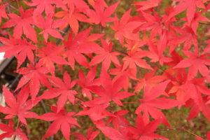 綺麗に並んでいる赤い紅葉