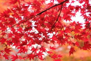 木の内側から見る赤い紅葉