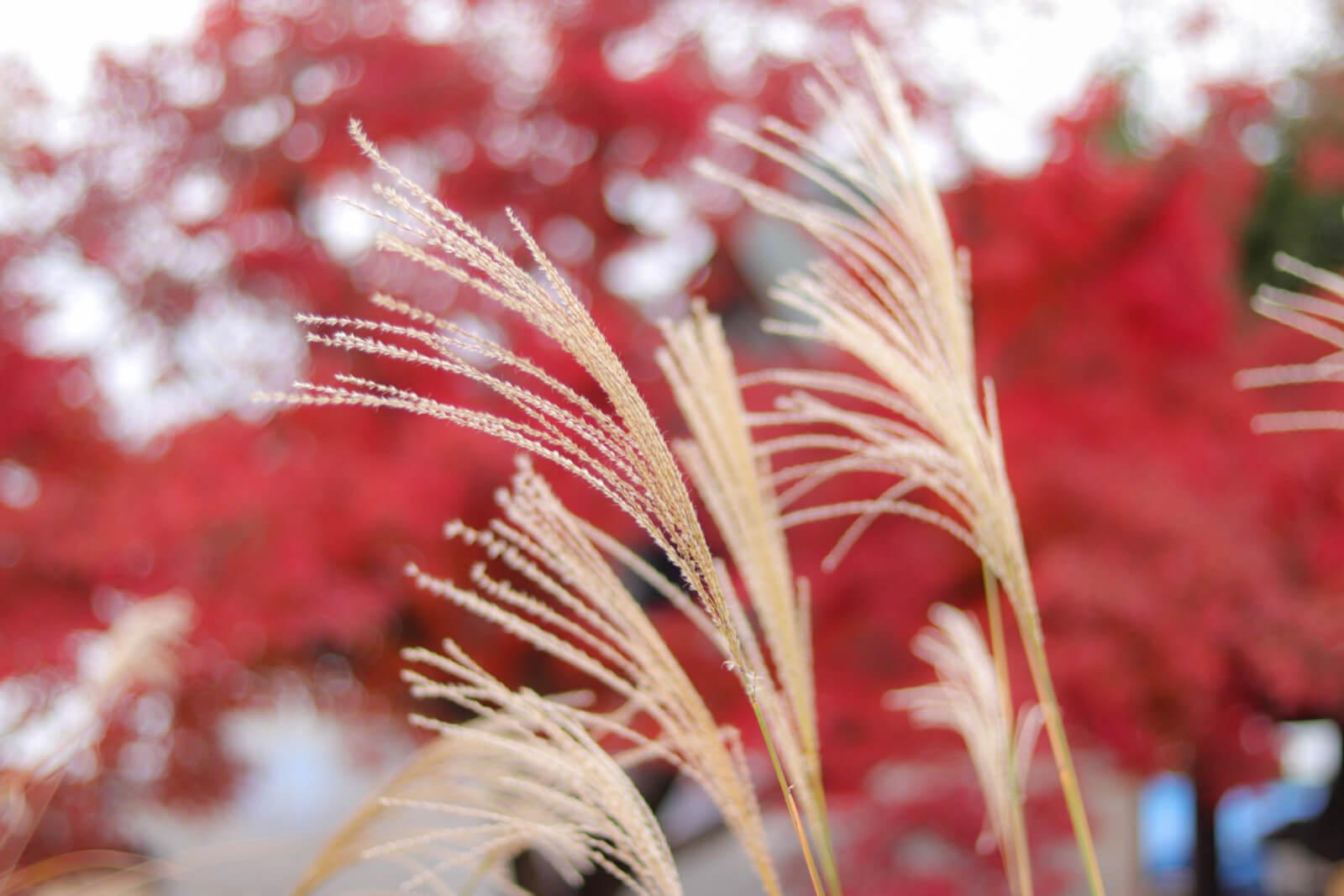 紅葉時期の種子が少ないススキ