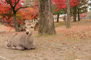 紅葉に囲まれながら座る鹿