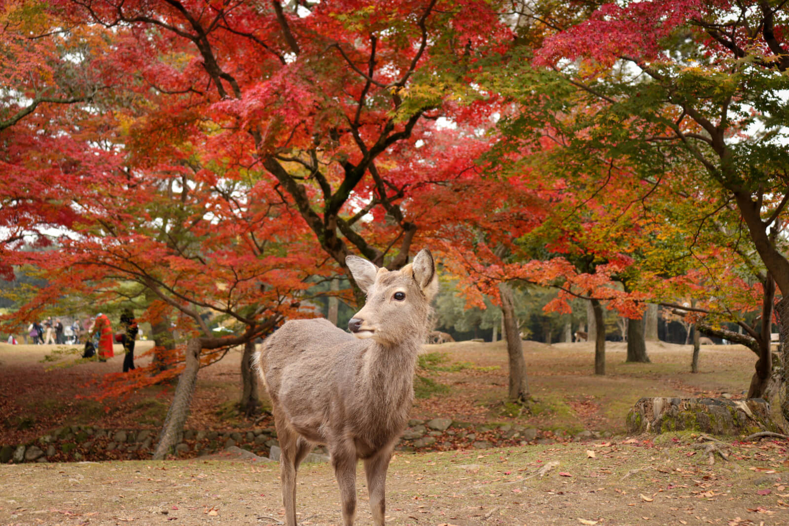 奈良公園で紅葉狩りする鹿