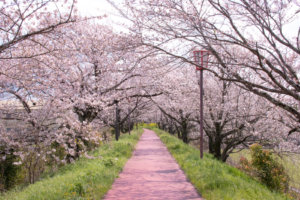 堤防の桜のアーチ