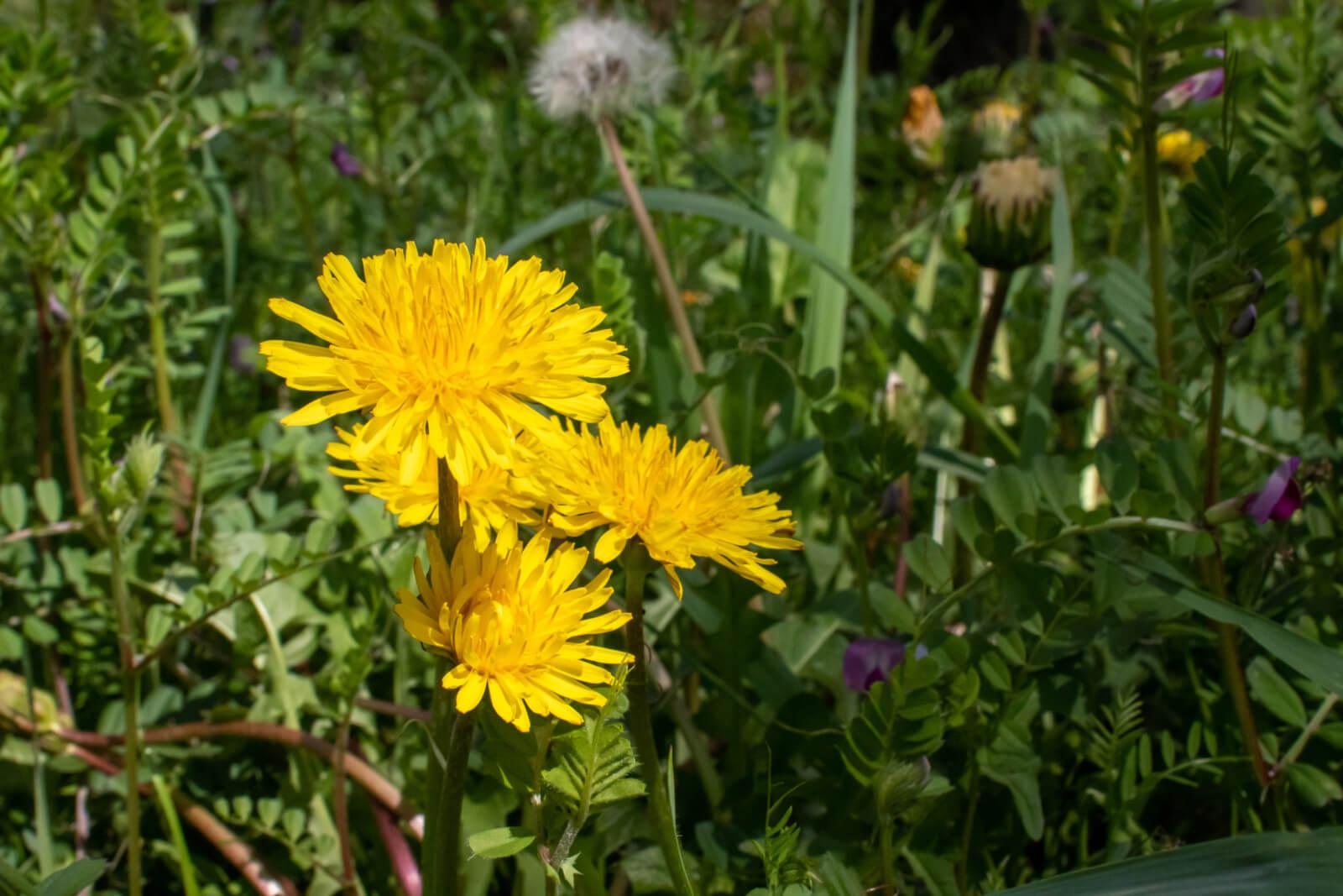 春を感じる黄色いたんぽぽ