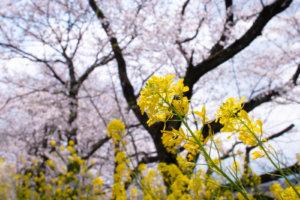 桜を背景に咲く黄色いなばな