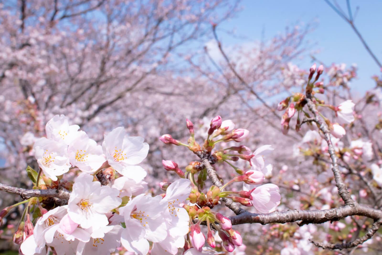 強風になびく桜とツボミ
