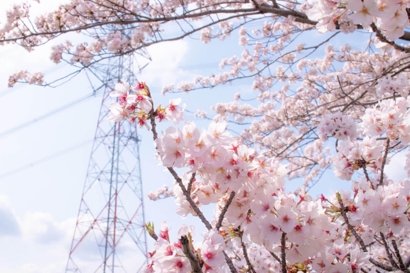 満開の桜と鉄塔