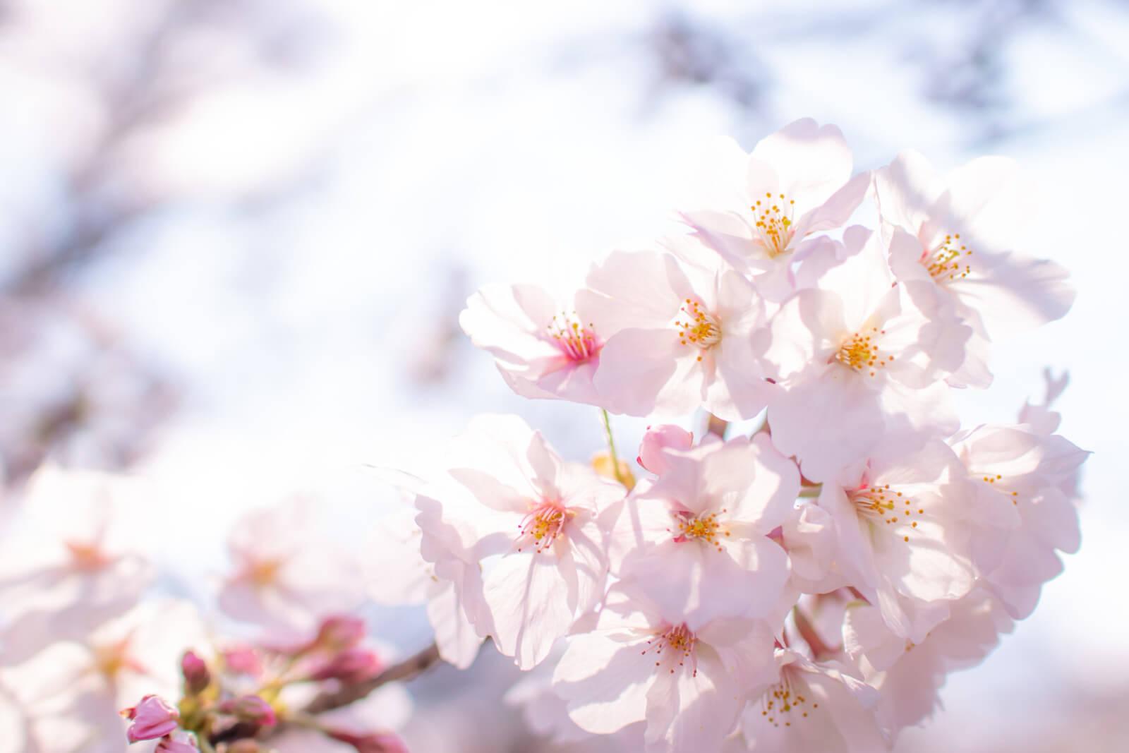 太陽の光が透ける桜のはなびら