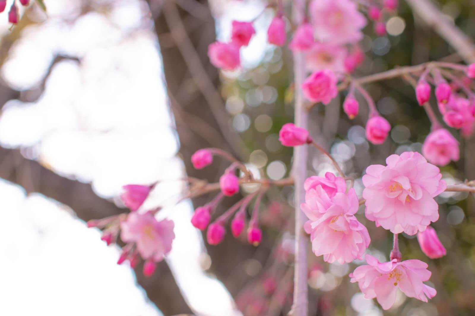枝垂れ桜をアップで