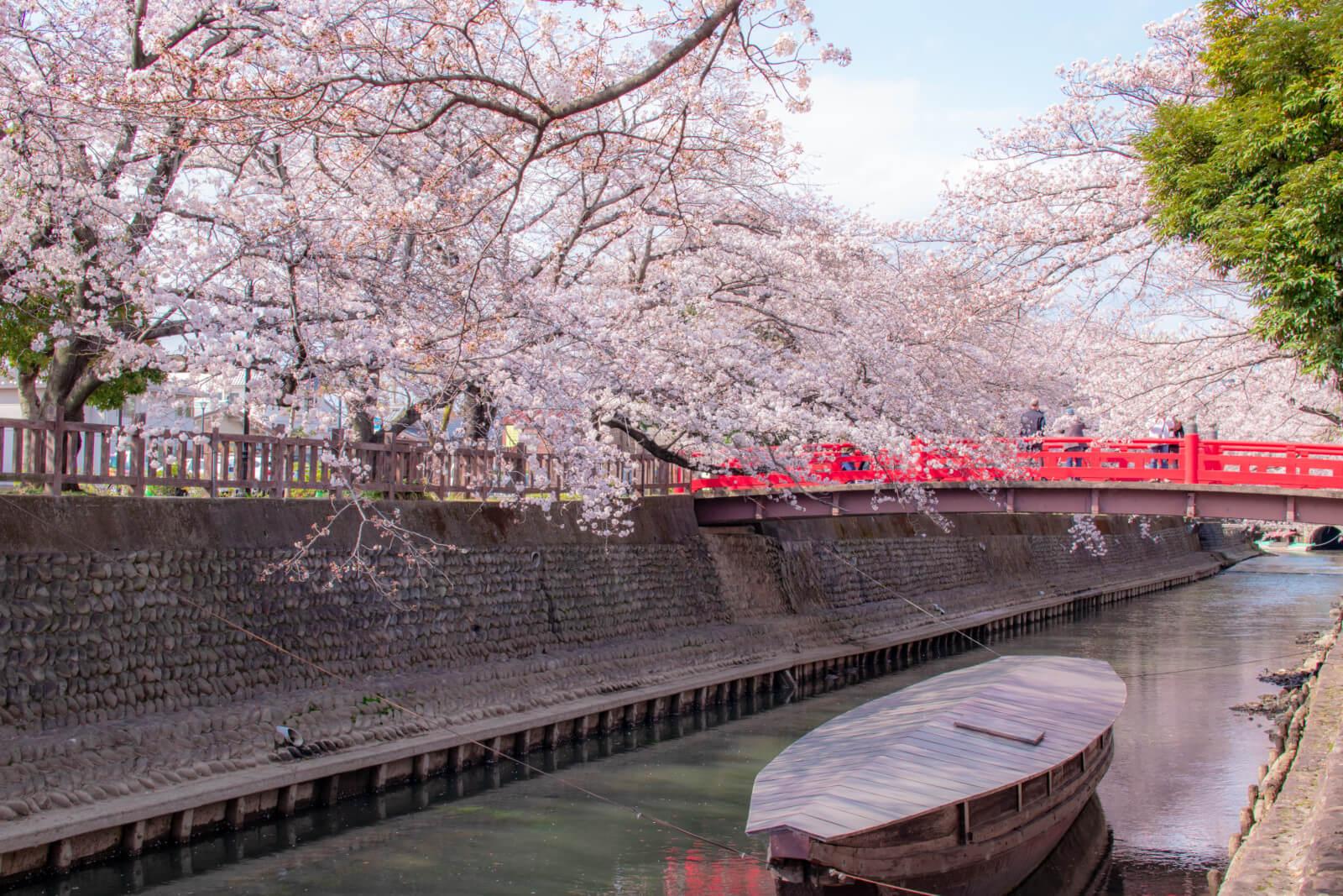 桜と水門川の赤い橋と舟