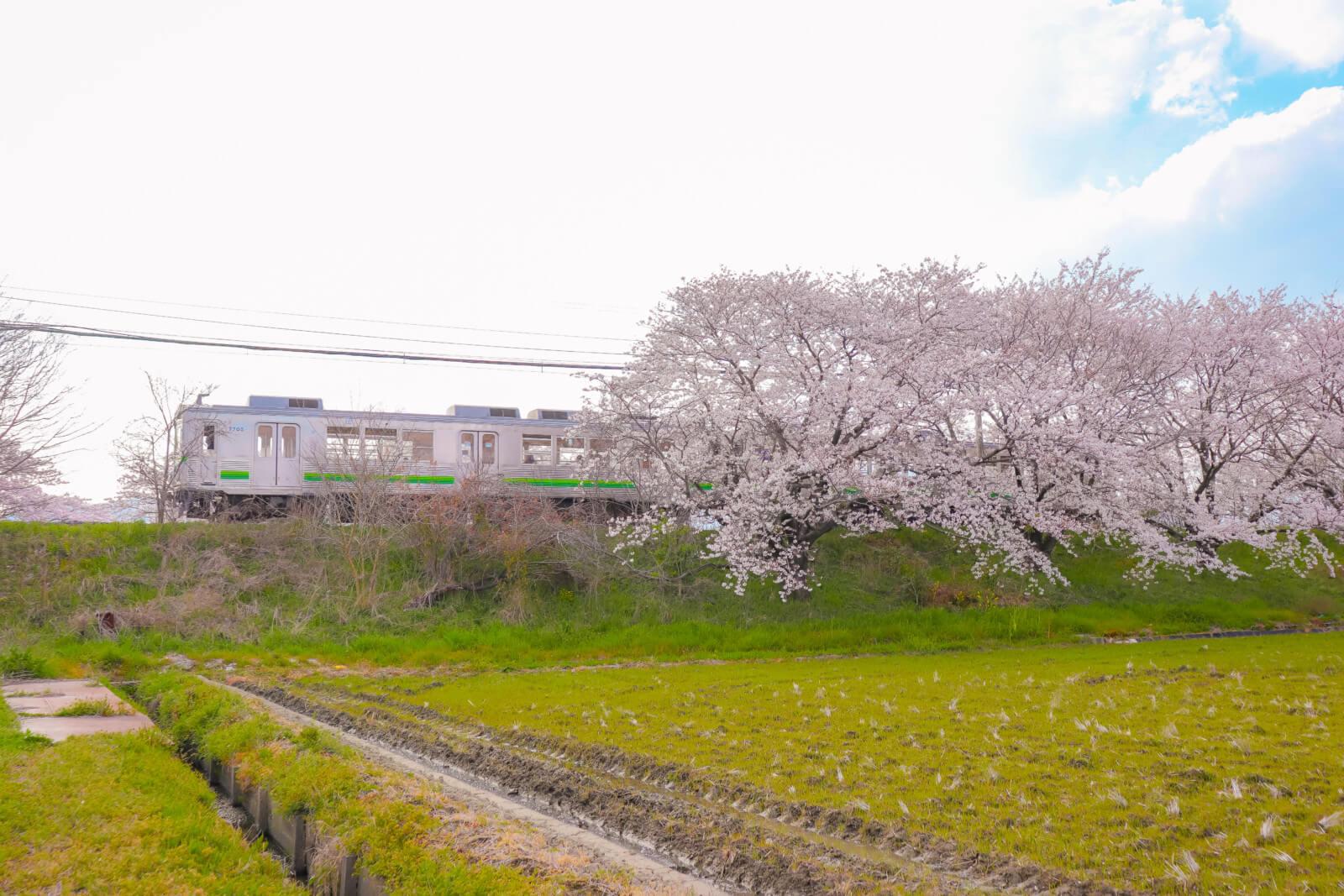 桜並木をくぐり抜ける電車