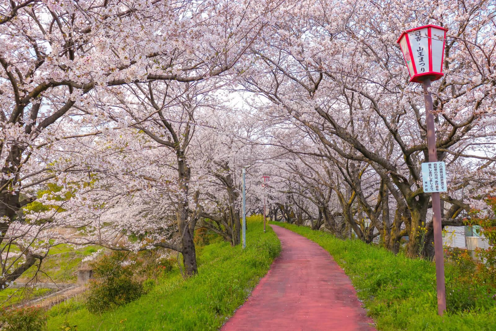 カーブする桜のトンネル