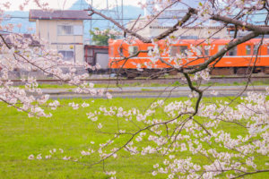 桜の向こうに走るオレンジの電車