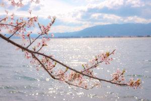 桜と琵琶湖(海津大崎)
