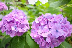 鮮やかな紫のあじさい