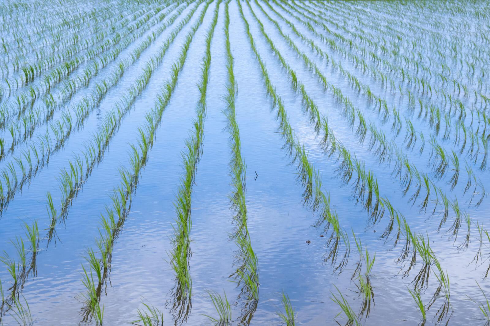 水を張った田んぼに映る青空