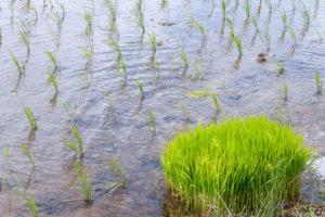 田植え直後の稲の苗の束