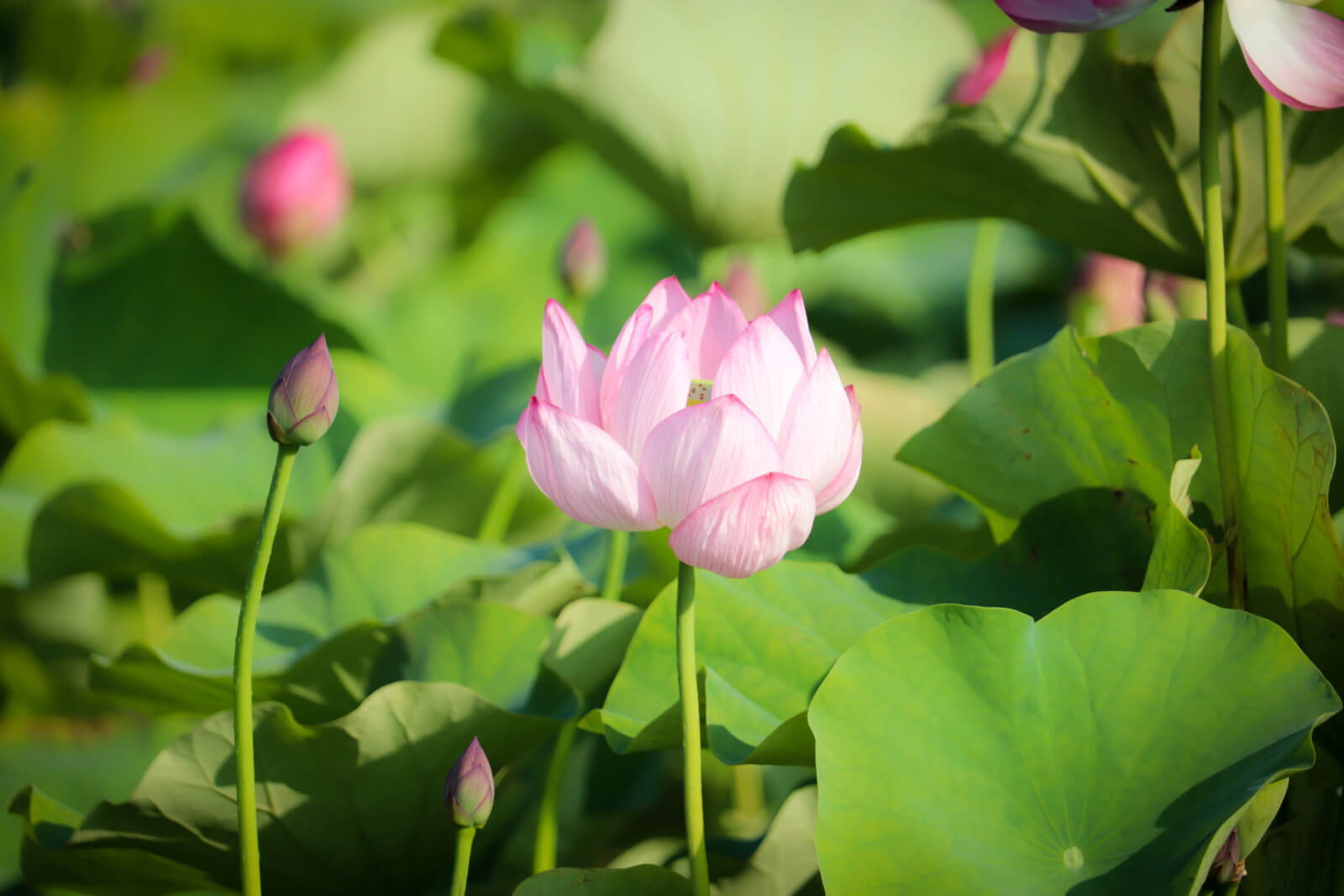 存在感のある蓮の花
