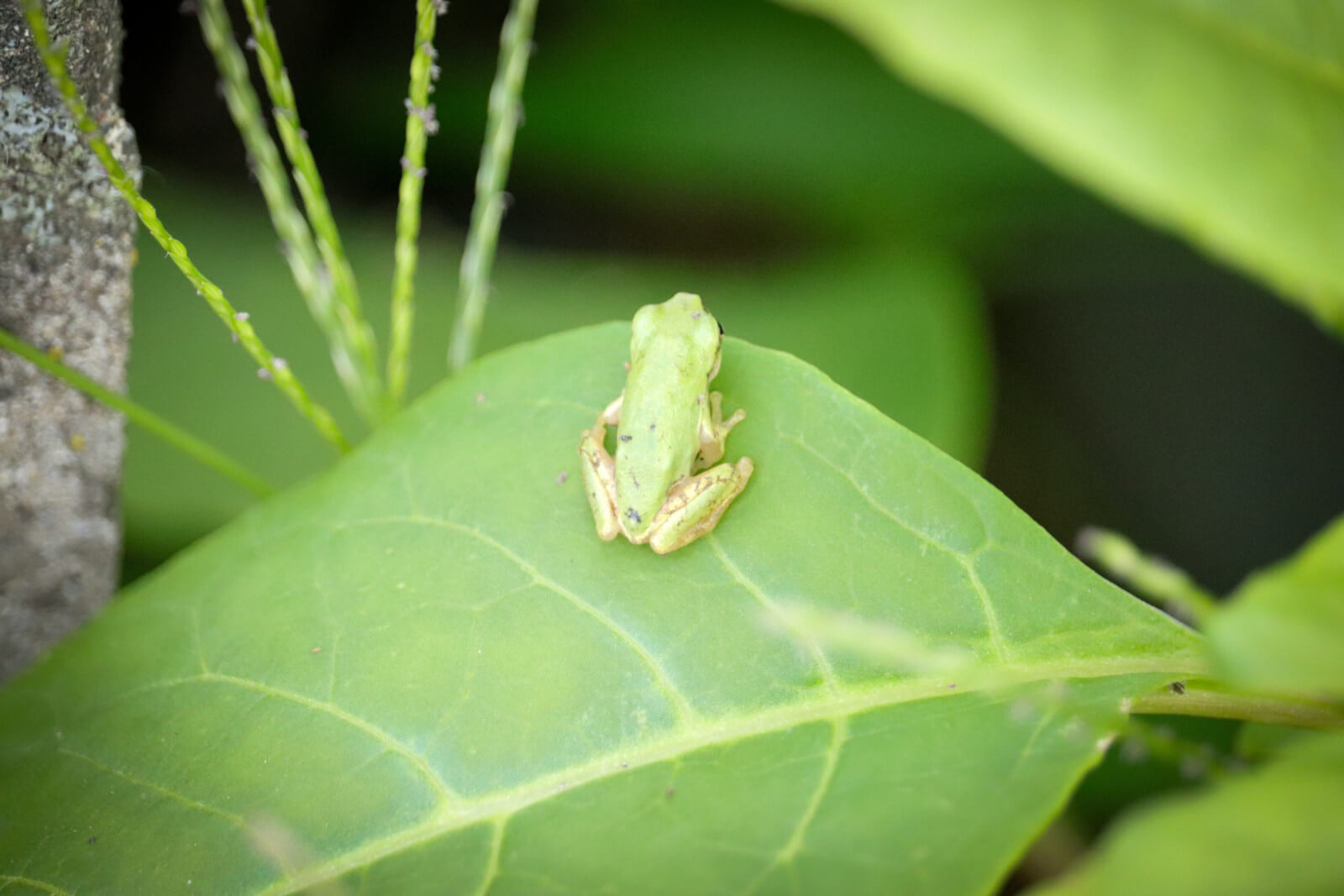 葉の上のニホンアマガエル