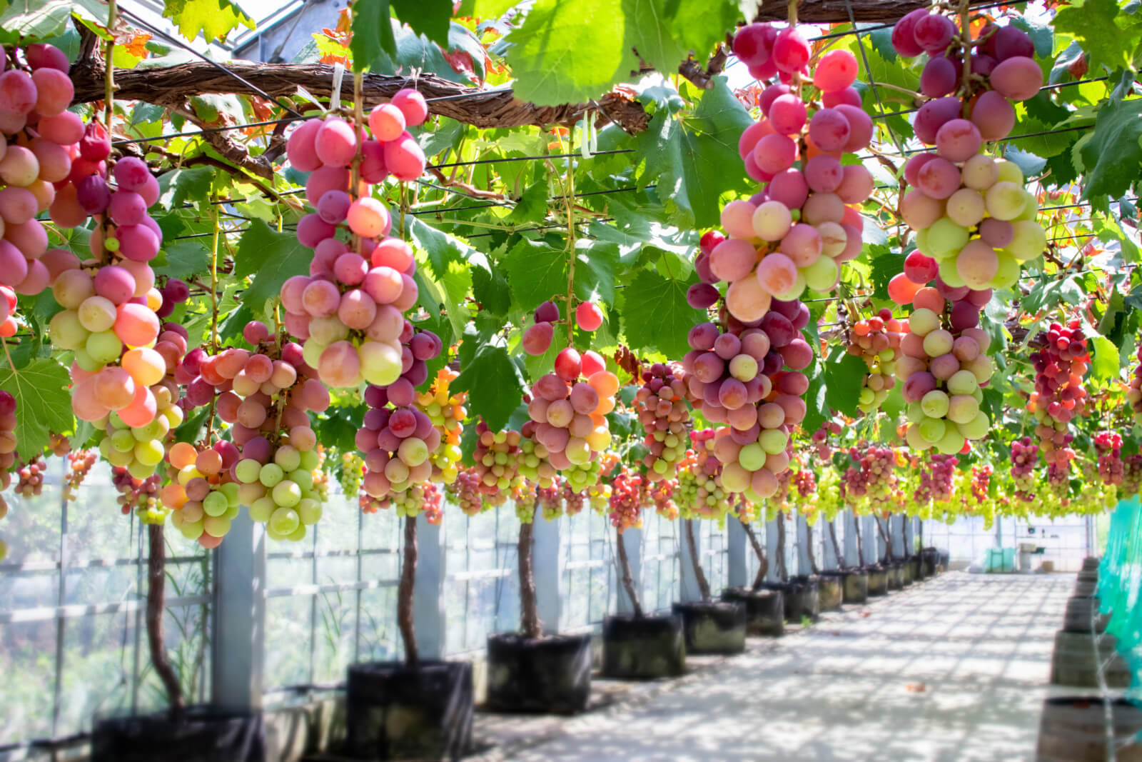 頭上に実るたくさんの葡萄