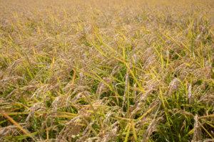 収穫を待つ一面の稲