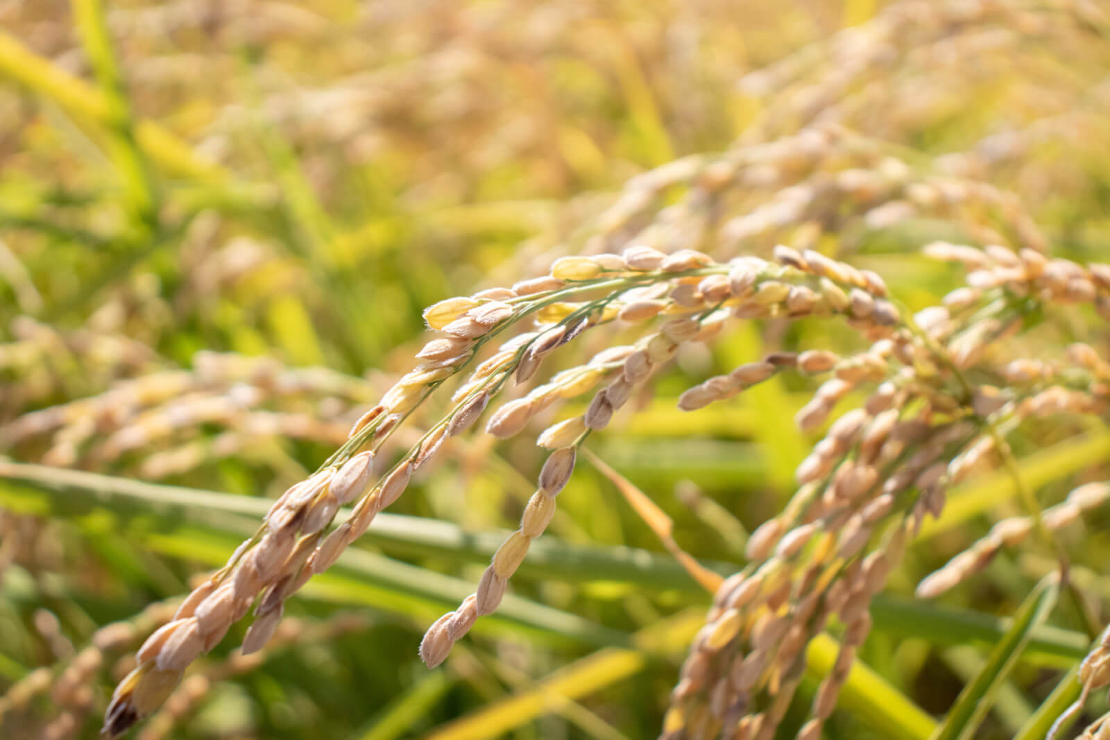 稲に連なる米