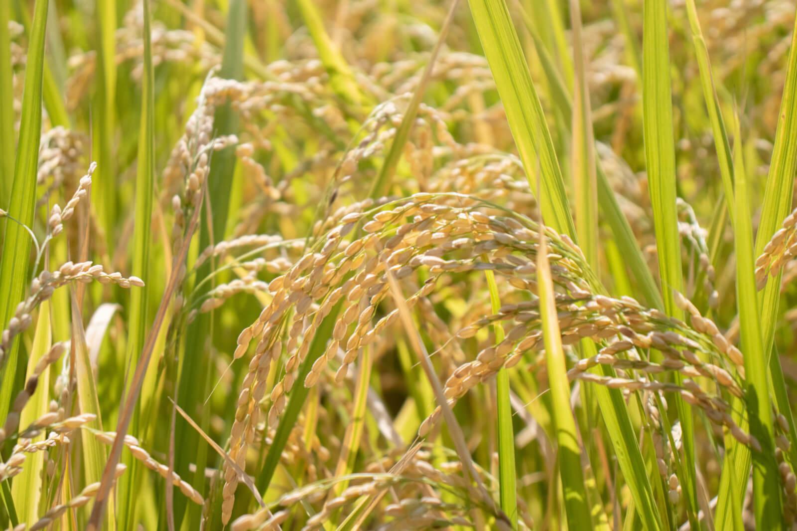 太陽に照らされる稲