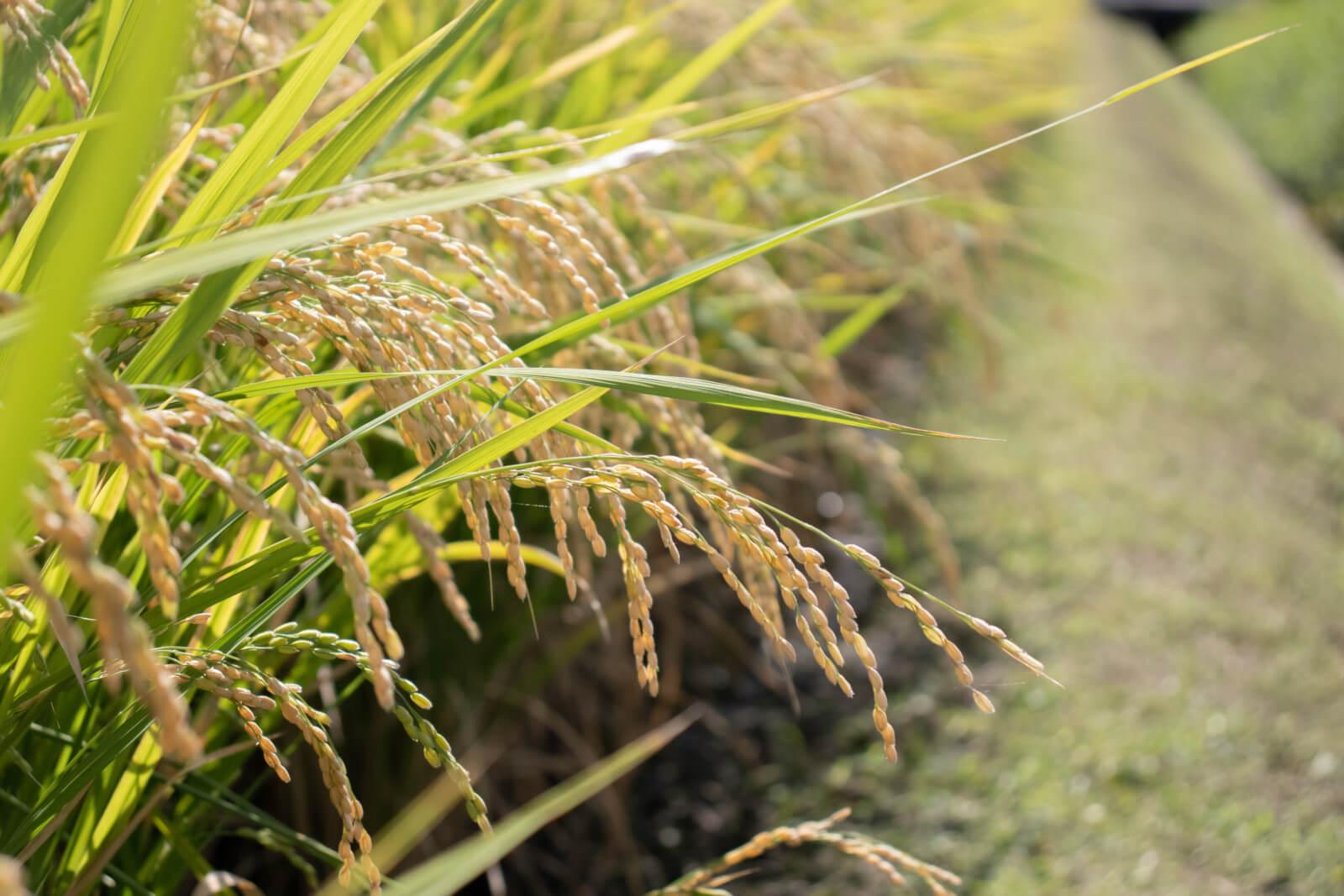 土手側の稲