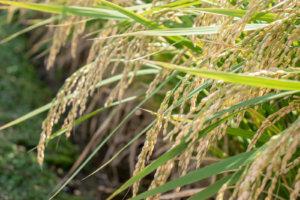 まだ少し緑掛かった稲