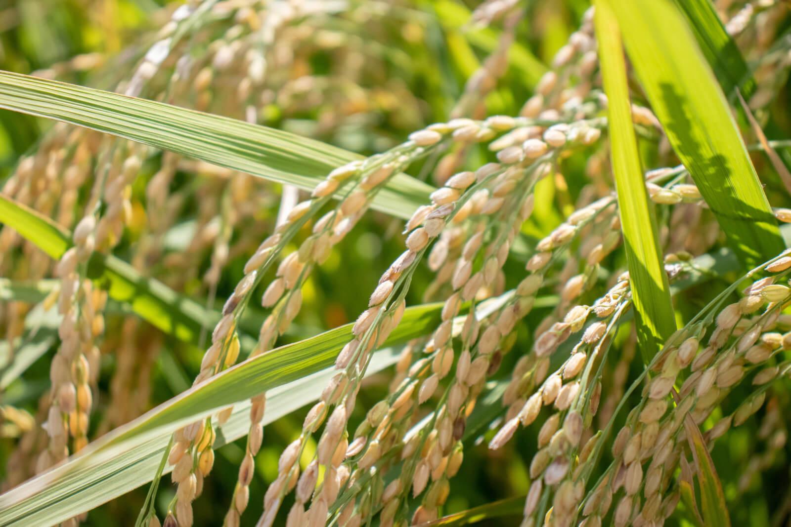 稲に綺麗に連なるお米