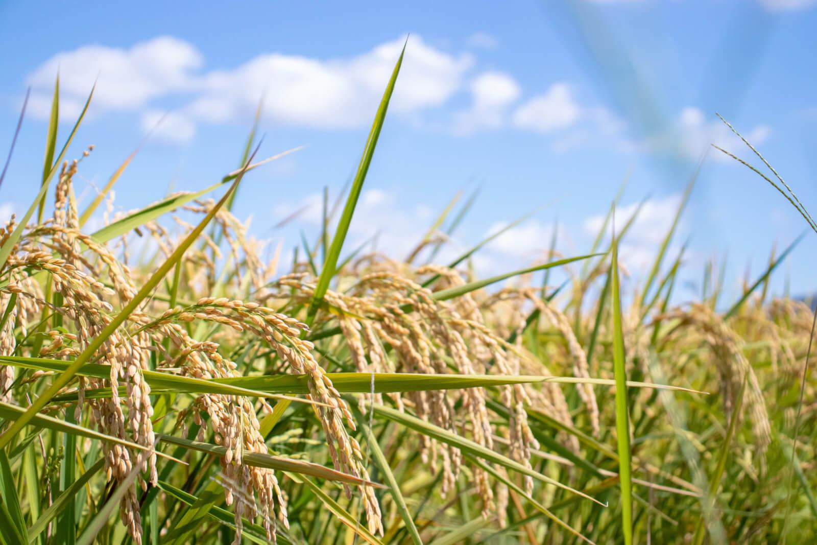 青空の下の稲