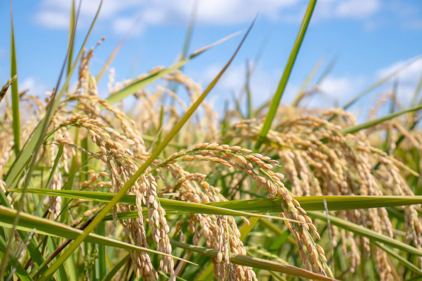秋空と収穫時期の稲