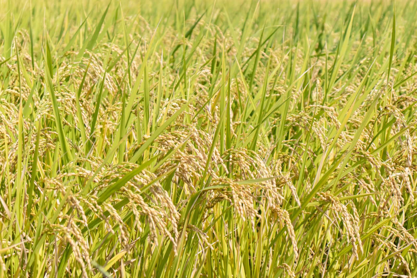 いきいきした稲