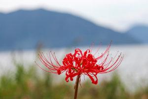 彼岸花、琵琶湖を背景に