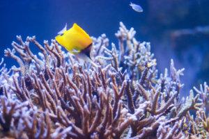 サンゴ礁とフエヤッコダイ