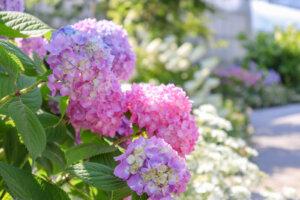 ピンクや薄紫できれいな紫陽花